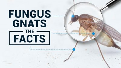 Fungus Gnats Blog