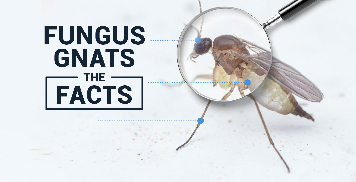 Important Facts About Fungus Gnats Cx Horticulture