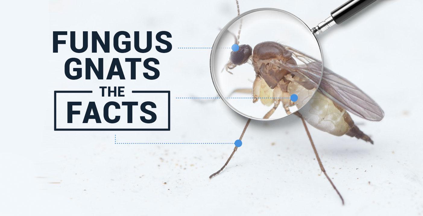 fungus gnat life cycle - Ideal.vistalist.co