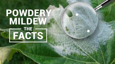 Powdery Mildew Blog