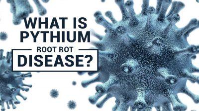 Pythium Root Rot Disease